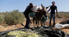 الأردن..اتحاد المزارعين يرفض تصدير الزيتون إلى إسرائيل