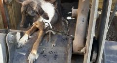 جسر الزرقاء : احتجاز كلب بظروف قاسية واعتقال مشتبه