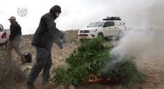 النقب: احراق الالاف من اشتال الماريجوانا
