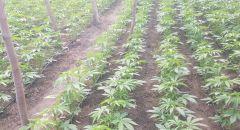 ضبط شتلات في منطقة مفتوحة قرب بلدة قيساريا يشتبه انها مخدرات من نوع كنابيس
