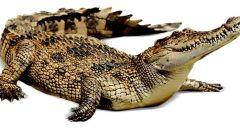 تمساح يعض طفلا بمزرعة تماسيح في يده  بمنطقة العربة جنوب وحالته خطيرة