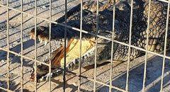استقرار حالة الطفل من يافا الذي عضه التمساح