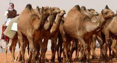 السعودية.. القبض على المتورطين بإطلاق النار في مهرجان الملك عبد العزيز للإبل