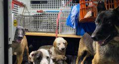 حملة للشرطة في الرملة وضبط ذخيرة ومخدرات في حي الجواريش ومصادرة 11 كلبا