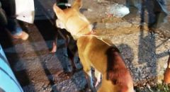 البعنة : ضبط كلاب بحوزة شاب يشتبه باستخدامها للصيد