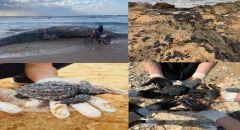 كارثة بيئية تشهدها شواطئ إسرائيل بعد انتشار عشرات أطنان الزفت وتلوث المياه ونفوق حيوانات