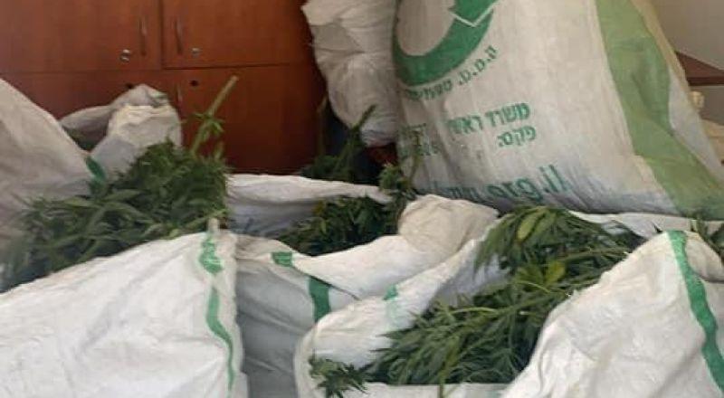 اعتقال شابين من الرامة بعد العثور على ١٠٠ شتلة مخدرات